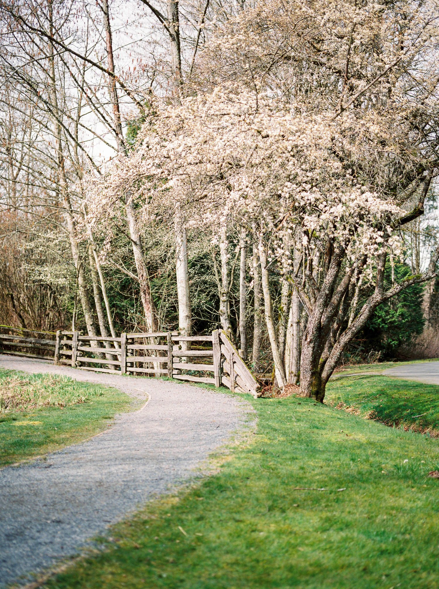 Cherry trees blooming